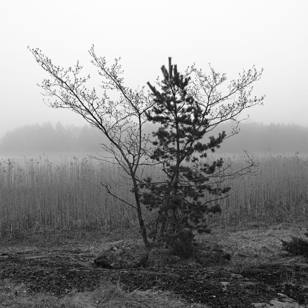 Svartvit bild på två mindre träd som växer tillsammans vid en vik. Lemland, Åland. Photographic Steps